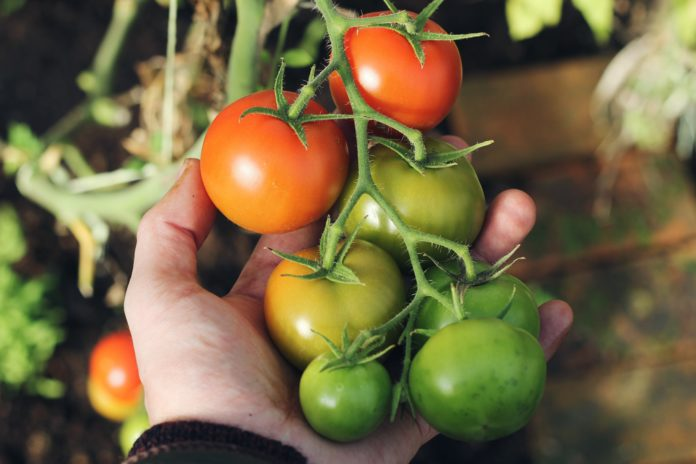 Man holds home-grown tomatoes from his vegetable garden.